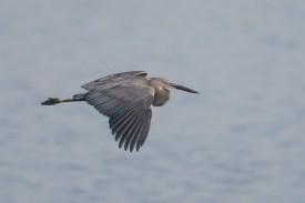 Great-billed Heron at Sungei Buloh Wetland Reserve. Photo credit: Francis Yap