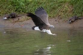 Grey-headed Fish Eagle at Sungei Ulu Pandan. Photo credit: Francis Yap