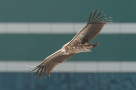 Himalayan Vulture at Central Business District. Photo credit: Francis Yap