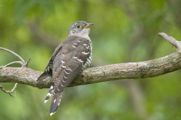 Indian Cuckoo at West Coast Park. Photo credit: Francis Yap