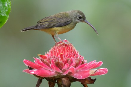 Little Spiderhunter at Thomson Nature Park. Photo credit: Francis Yap