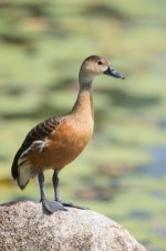 Wandering Whistling Duck at Satay by the Bay. Photo credit: Francis Yap
