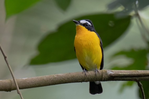 Yellow-rumped Flycatcher at Rifle Range Link. Photo credit: Francis Yap