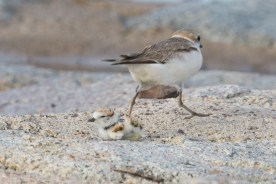 Female Malaysian Plover running away, presumably as a form of distraction. 27 June 2021