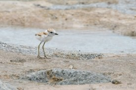 Malayian Plover chick. 4 July 2021