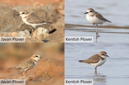 Comparisons of the Kentish Plover (left two) and Javan Plover (right two). All pictures taken in Java. While sunlight and white balance can influence apparent colour, the structural differences of the two species can be seen here. The Javan Plover generally has a more buffish impression. Photo credit: Khaleb Yordan