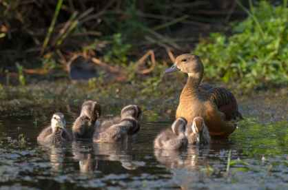 Lesser Whistling Duck, Singapore. Photo credit: Goh Cheng Teng