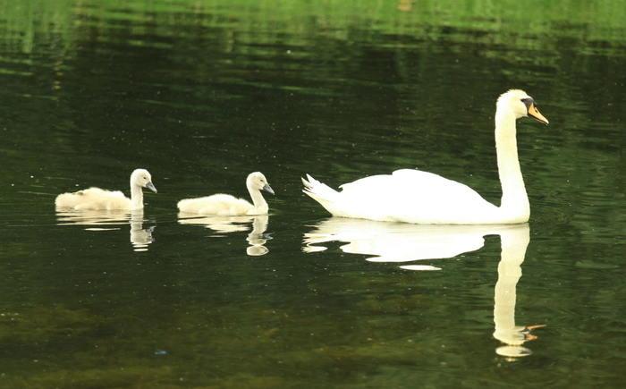 swan mama and cygnets