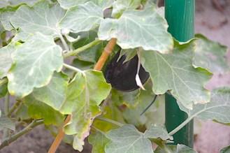 eggplant3