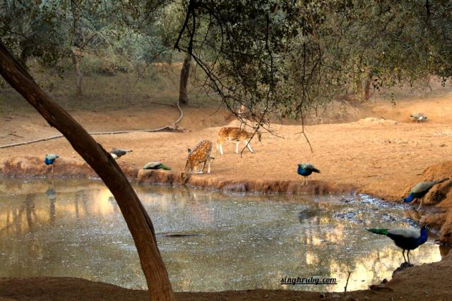 Quenching thirst at Sariska Tiger Reserve