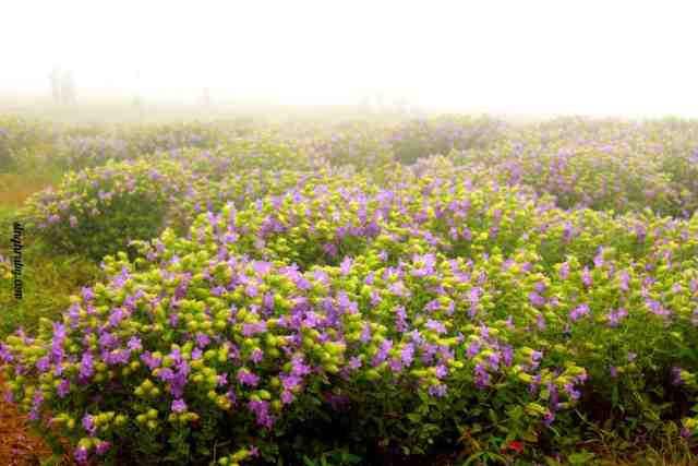 blooming-once-in-7-years-at-kaas-plateau