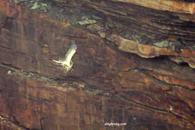 vulture-making-its-nest