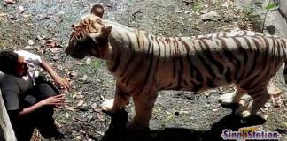 delhi-zoo-white-tiger-mauled-young-man