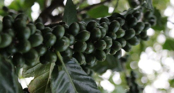 haitian coffee tree