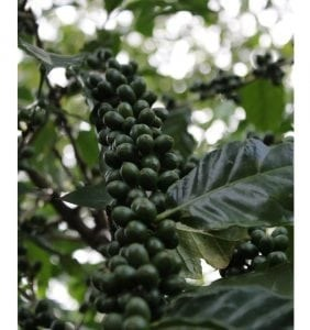 reforest Haiti mountains coffee