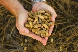 haiti-peanuts