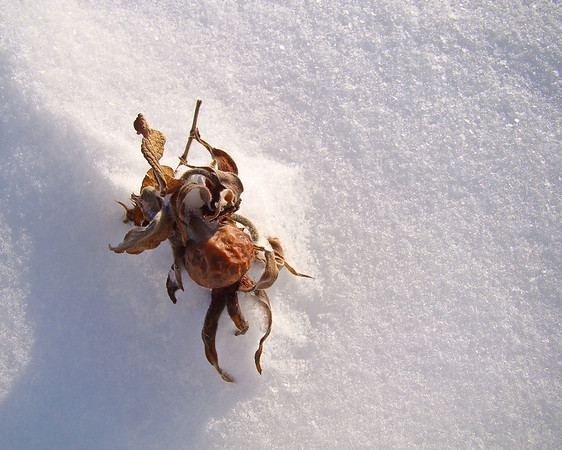 Plum in Snow