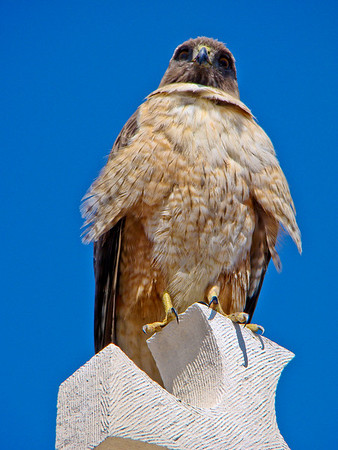 Redtailed Hawk on Cabrillo Mounment