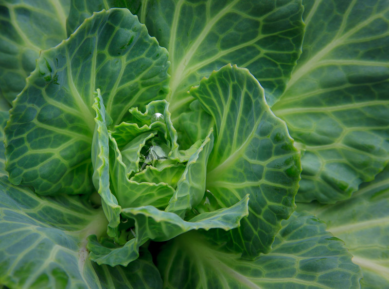 Ornamental Cabbage Leaves