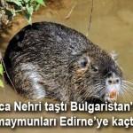 Tunca Nehri taştı Bulgaristan'daki su maymunları (Samurları) Edirne'ye gitti