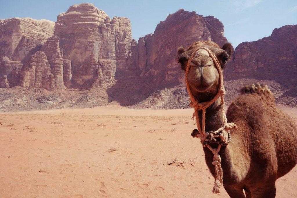 Dromedario en el Wadi Rum. Que hacer en Jordania
