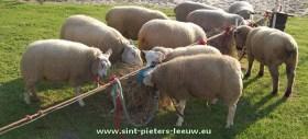 archieffoto-schapen