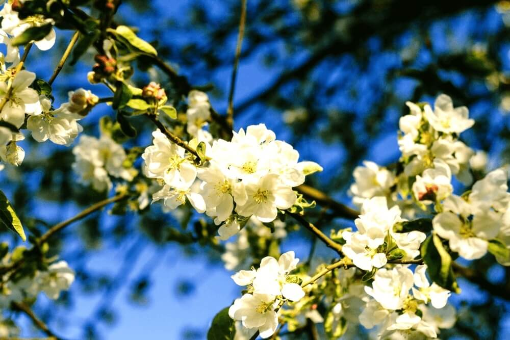Good morning images of  Apple tree in bloom flowers