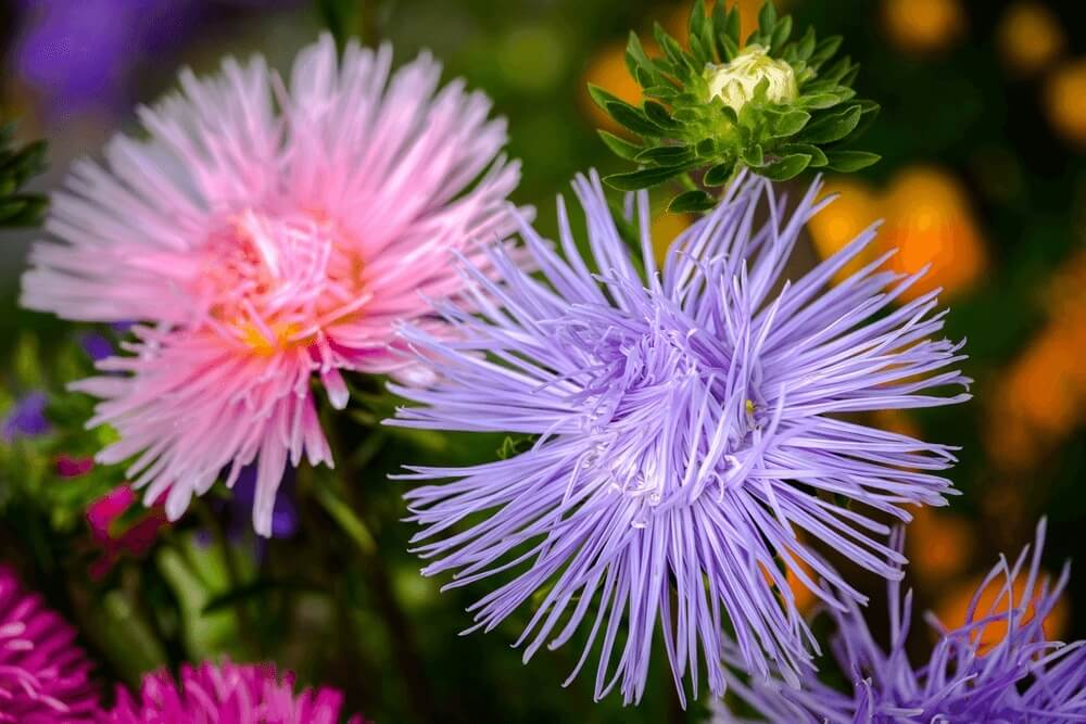 Good morning images of asters. Nature flowers