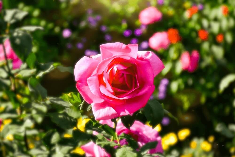 Good morning images of  roses in the garden flowers