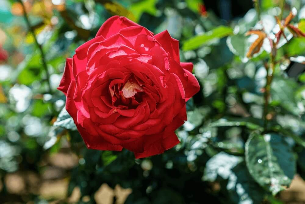 Good morning images of early summer rose flowers