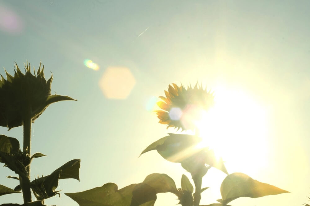 Good morning images of light touch sunflower plants