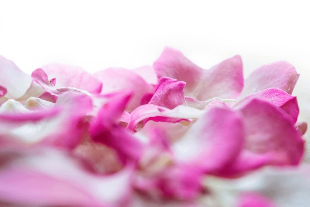 Good morning images of white rose petals flowers