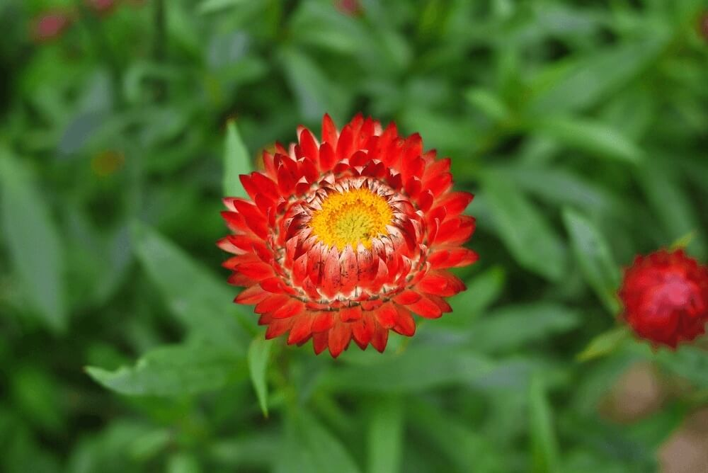 warm Good morning images of  straw flower