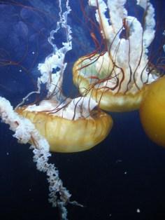 Demoiselles (11 juin 2011) - J'ai photographié ces méduses à travers la paroi d'un aquarium, mais les traces de doigts semblent faire partie de l'eau un peu trouble. J'aime le graphisme de cette image, grande diagonale et contre-diagonale, formes semblables mais pas identiques.
