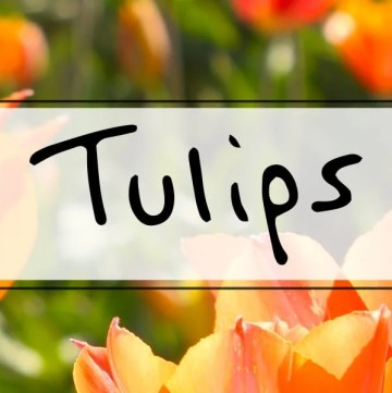 Tulips 101 ideas for tulip arrangements in a vase, indoor blooming tips, wedding centerpiece ideas + more! https://sipbitego.com/tulips-101 #flowers