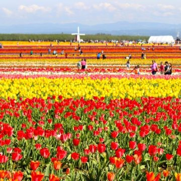 Wooden Shoe Tulip Festival during a Spring trip to Oregon
