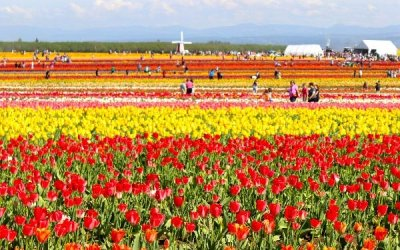 Wooden Shoe Tulip Farm near Portland Oregon
