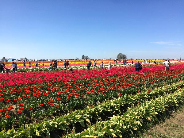 Wooden Shoe Tulip Festival during April