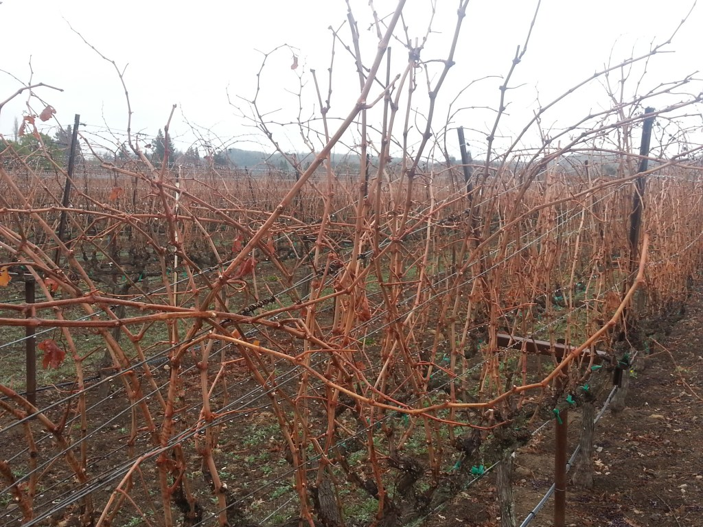 Pruning Grapes In The Vineyard Just The Basics
