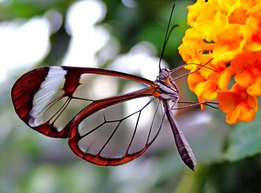 GLASS WING BUTTERFULY
