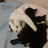 オスネコが子猫の面倒を見ています