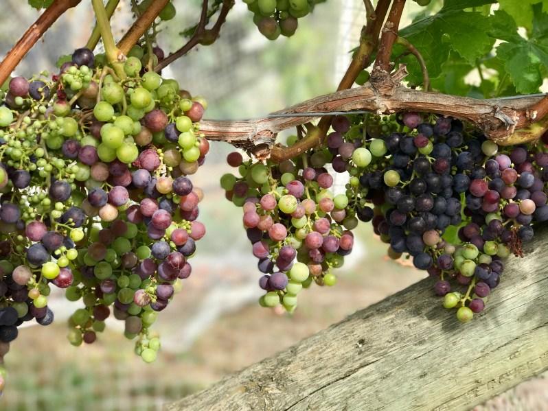 te-mata-winery-vineyard