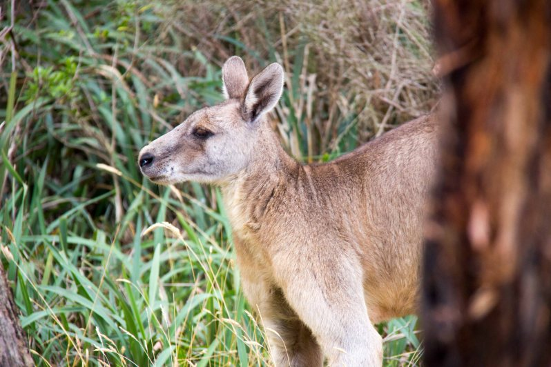 Kangaroo Great Ocean Ecolodge.jpg