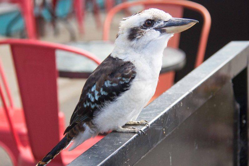 Kennett River Birds Kookaburra