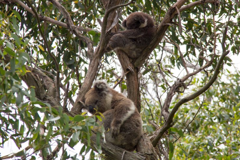 Koalas Great Ocean Road Melbourne Australia 2