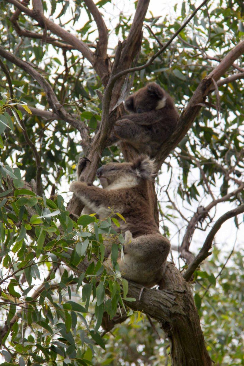 Koalas Great Ocean Road Melbourne Australia