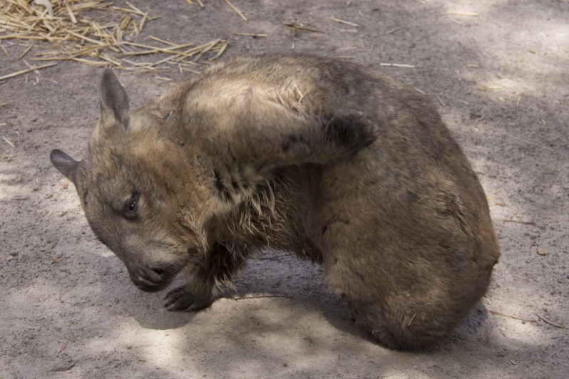 moonlit-sanctuary-wombat