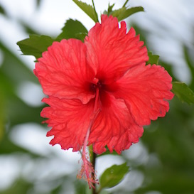 flower-sirena-serena