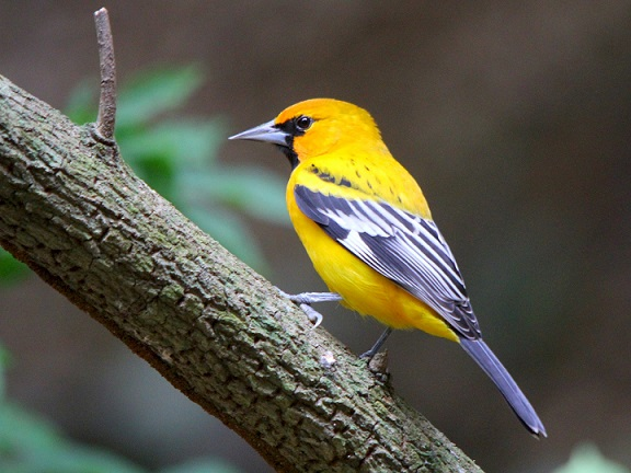 Steak-backed Oriole bird