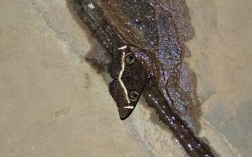 amboseli-butterfly